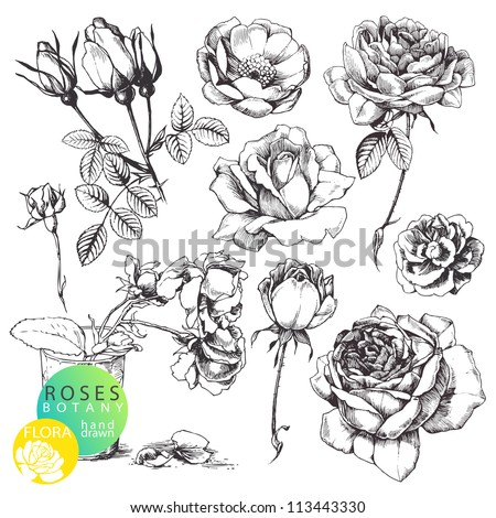 Great collection of highly detailed hand drawn roses isolated on white background - stock vector