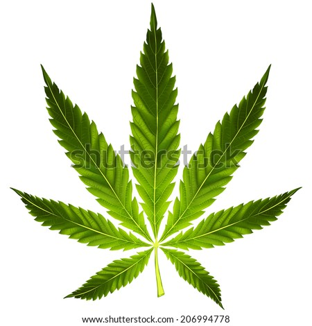 Green cannabis leaf on white background