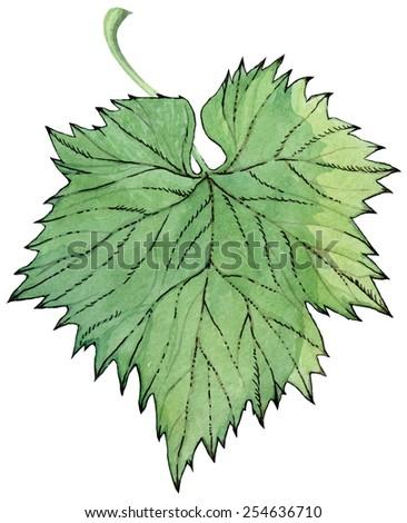green grape or hops leaf - watercolor vector illustration - stock vector
