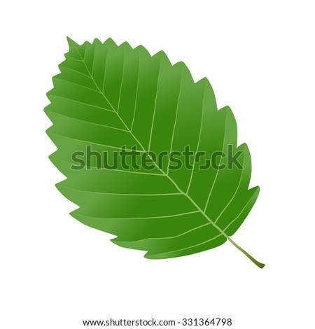 green leaf alder - stock vector