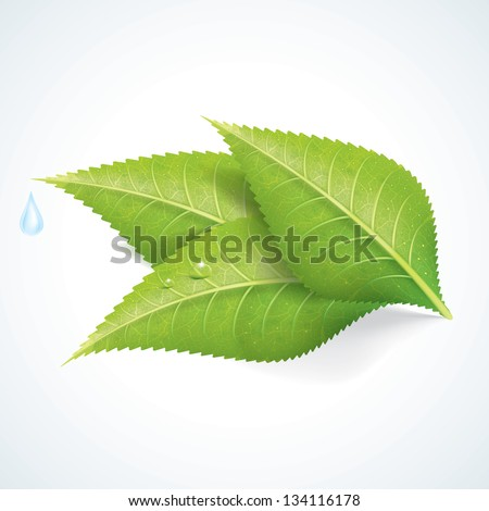 Green Leafs with Water Drop - stock vector