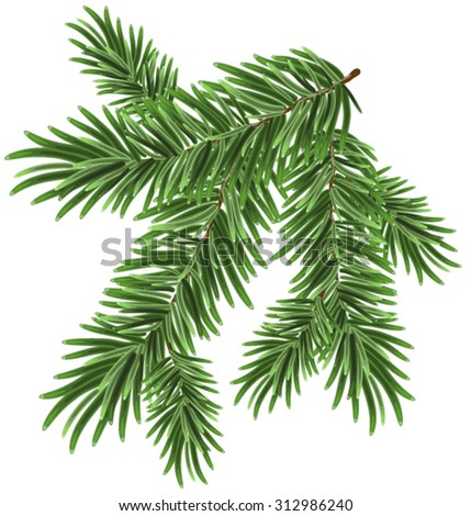 Green lush spruce branch. Fir branches. Isolated illustration in vector format - stock vector
