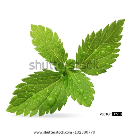 Green mint leaves on a white background.Vector illustration. - stock vector