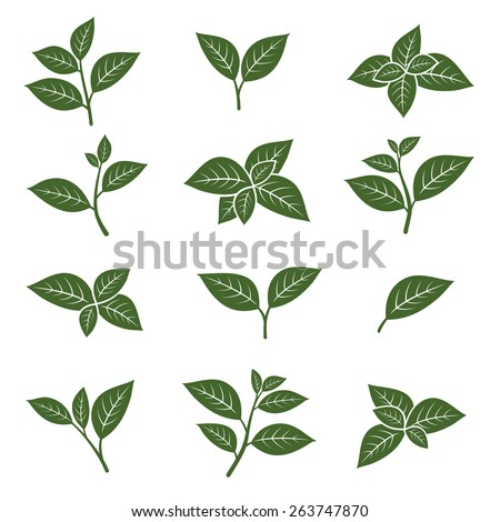 Green tea leaf collection set. Vector - stock vector