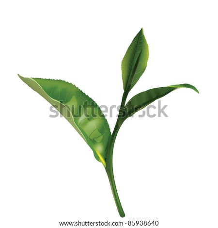 Green tea leaf isolated on white background. Vector image. - stock vector