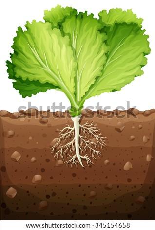 Lettuce Seedling Soil Stock Photo 112515200 - Shutterstock  Lettuce Seedlin...