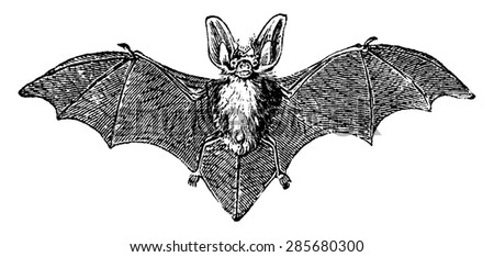 Grey long-eared bat, vintage engraved illustration. Natural History of Animals, 1880.
