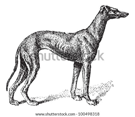 Greyhound, showing male dog, vintage engraved illustration. Dictionary of Words and Things - Larive and Fleury - 1895 - stock vector