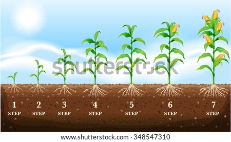 Growing corn on the ground illustration - stock vector