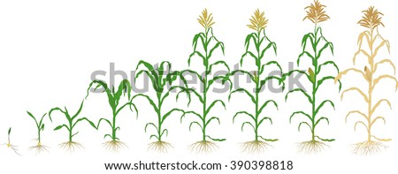 growth corn plant