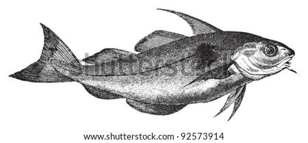 Haddock (Gadus Aeglefinus) / vintage illustration from Meyers Konversations-Lexikon 1897 - stock vector