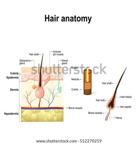 Hair Anatomy Diagram Hair Follicle Cross Stock Vector Royalty Free