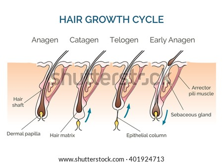 Hair human growth cycle. Science biological phases. Vector illustration