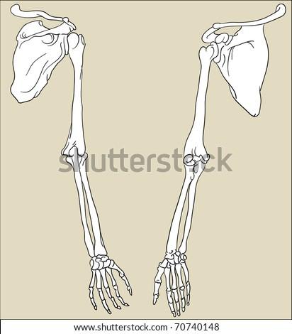 Hand bones - stock vector
