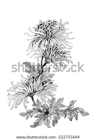 Hand drawing chrysanthemum flowers vector illustration