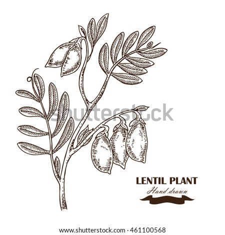 Chickpea Plant Coloring Page