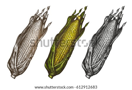 Hand drawn corn. Food sketch. Vector illustration