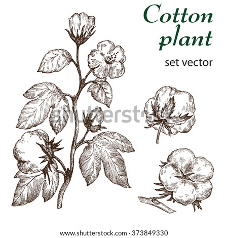 Hand drawn cotton plant in vintage style.