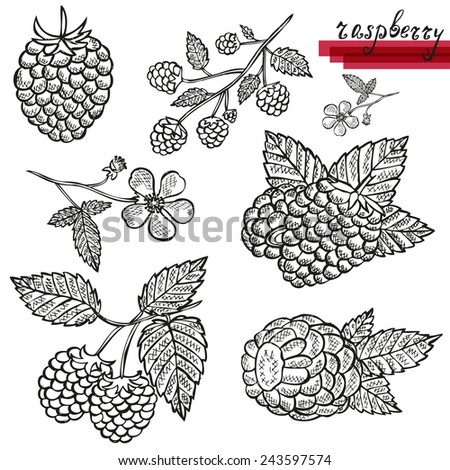 Hand drawn decorative raspberries, whole and sliced, and raspberry flower. Design elements. Can be used for cards, invitations, scrapbooking, print, manufacturing  - stock vector
