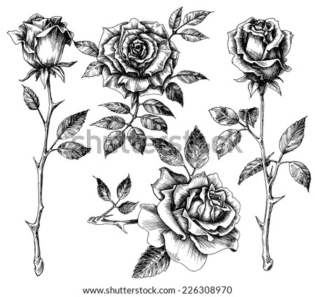 Hand drawn flower set, rose collection - stock vector