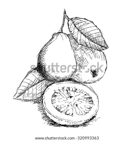 Hand Drawn Fruit Guava Isolated On White Background