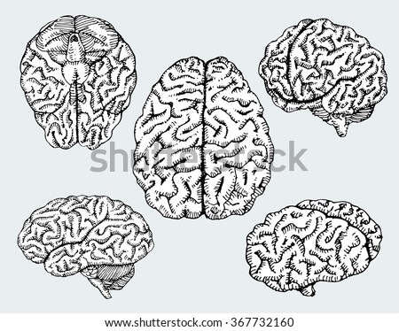 Hand drawn human brains. Vector illustration. - stock vector