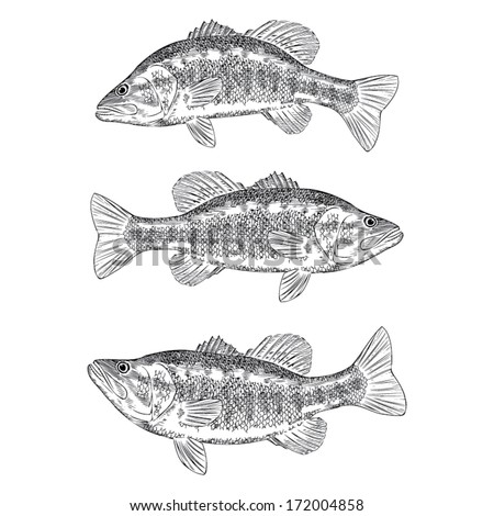 Hand Drawn Illustration of a Bass - stock vector