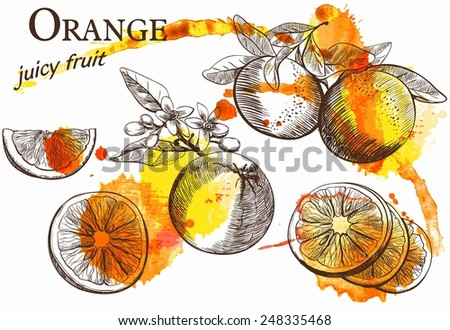 Hand drawn illustrations of beautiful orange fruits - stock vector