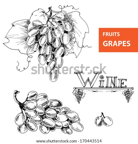 Hand drawn illustrations of grapes. Vector eps 8 - stock vector
