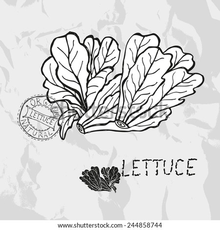 Hand drawn lettuce, design elements. Vegetable. Can be used for cards, invitations, gift wrap, print, scrapbooking. Kitchen theme - stock vector