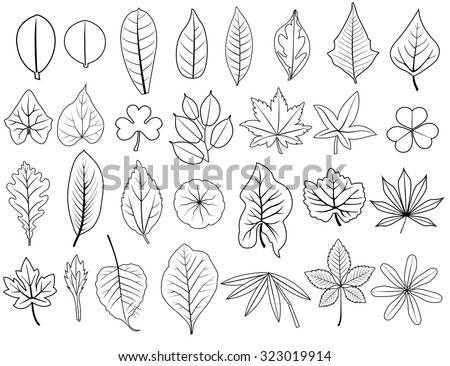 hand drawn line leaves vector set of  grape, acacia, fern, elm, poplar, oak, maple, lush bamboo, cassava, teak, pennywort, tamarind, lotus, caladium, for nature backdrop illustration, collection - stock vector