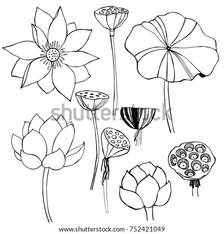 Hand Drawn Lotus Vector Sketch Illustration