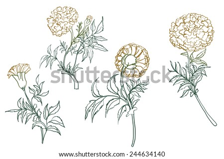 Hand Drawn Marigold Flowers Outline Stock Vector 244634140 ...