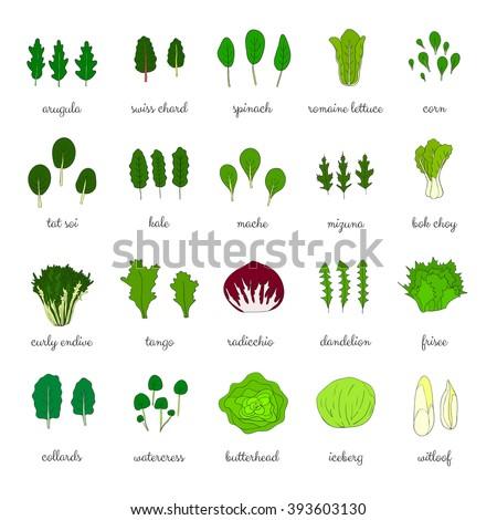 Hand drawn popular types of salad leafy greens vegetables dandelion