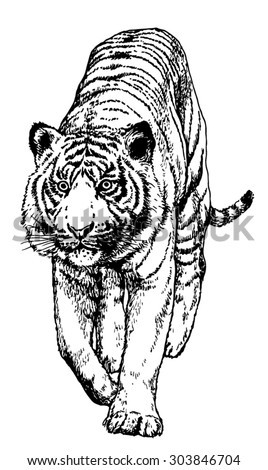 Hand drawn realistic sketch of a tiger, isolated on white background - stock vector