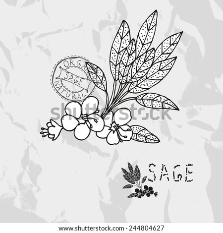 Hand drawn sage plant with flowers, design elements. Culinary spices. Can be used for cards, invitations, gift wrap, print, scrapbooking. Kitchen theme
