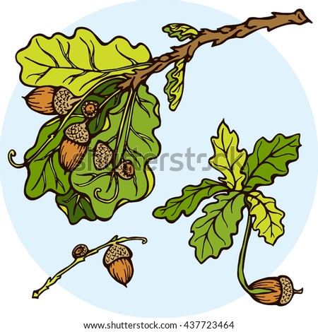 hand drawn Set oak branches with leaves and acorns. Stock vector illustration with Oak and Acorn. oak sprout. sprouting acorn. branch with green leaves - stock vector