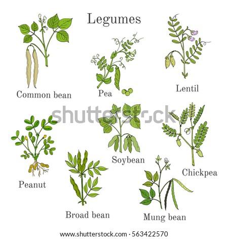 plants legume stock images royalty free images vectors shutterstock. Black Bedroom Furniture Sets. Home Design Ideas
