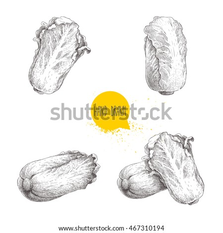 Hand drawn sketch chinese cabbages set. Pe-tsai exotic farm fresh vegetables vector illustration isolated on white background.