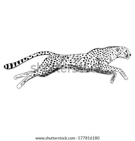 Running cheetah vector - photo#20