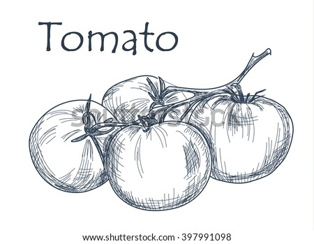 Hand drawn tomato over white background. Vector