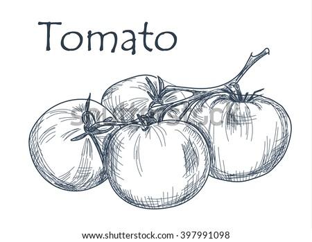 Hand drawn tomato over white background. Vector - stock vector