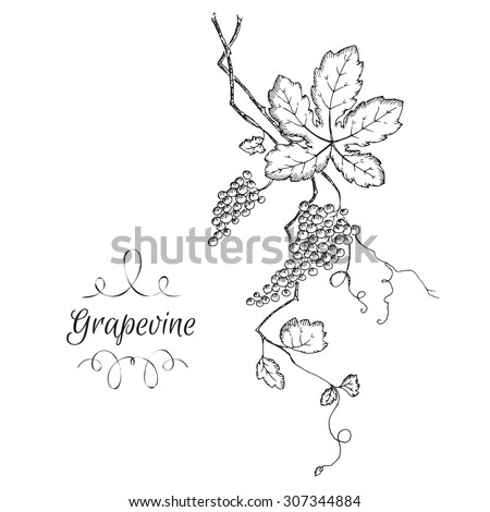 Hand drawn vector grapevine sketch. Can be used as illustration or material for thematic labels. - stock vector