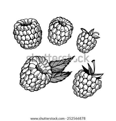 Hand-drawn vector illustration. Collection of raspberry. Line art. Isolated on white background. - stock vector