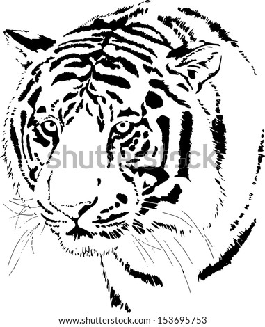 Hand Drawn Vector Of A Fierce Bengal Tiger Face Showing The Large Cats Head With Piercing