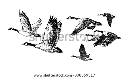 geese stock images royalty free images vectors shutterstock. Black Bedroom Furniture Sets. Home Design Ideas