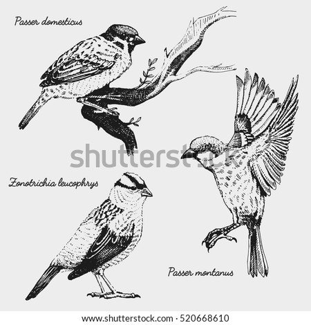 Hand Drawn Vector Realistic Bird Sketch Graphic Style White Crowned Sparrow Passer Domesticus