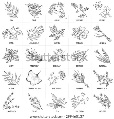 Hand drawn vector set of herbs and spices vintage illustrations. Kitchen and drug plants collection. Oregano, ginger, mint, rosemary, parsley, spinach, curcuma, olive and others. Monochrome drawing.