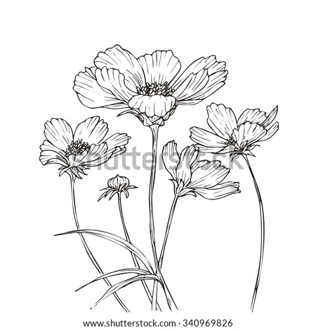 Hand Drawn Vector Cosmos Flowers Floral Stock Vector 340969826 Shutterstock