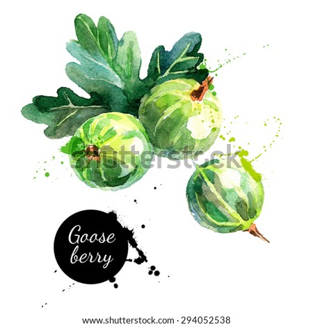 Hand drawn watercolor painting gooseberry on white background. Vector illustration of berries	 - stock vector